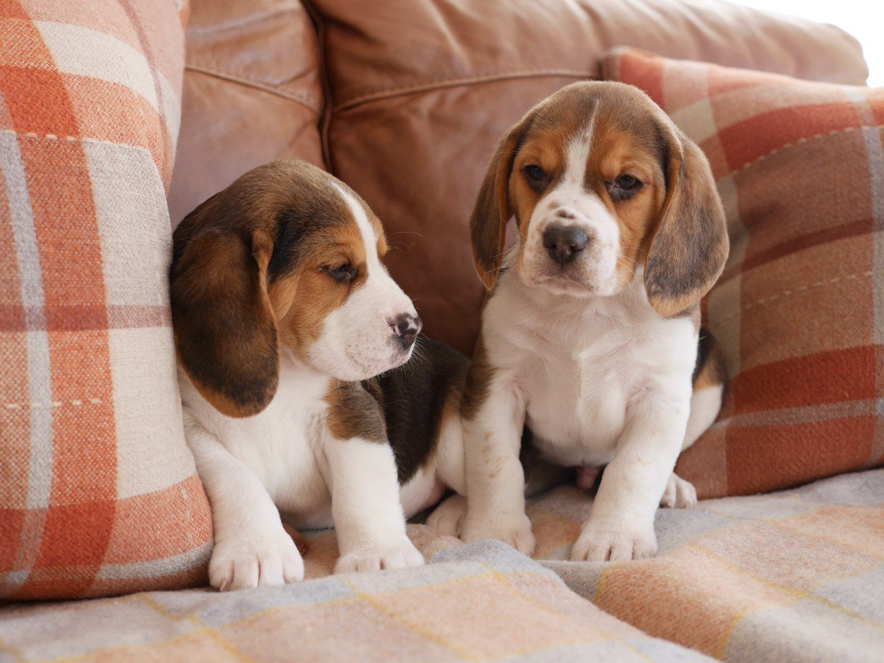 Boys  Girls Beagle puppies Available