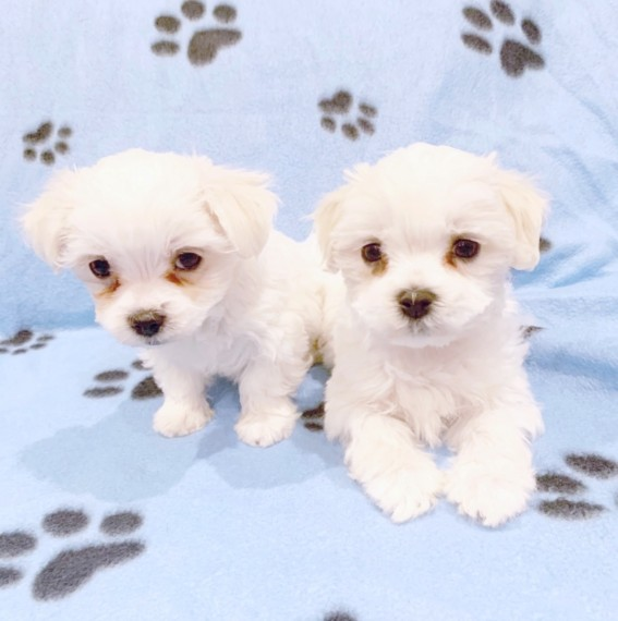Beautiful Male and Female Maltese Puppies for sale