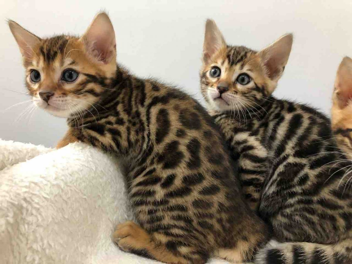i have two bengal for sale male and female