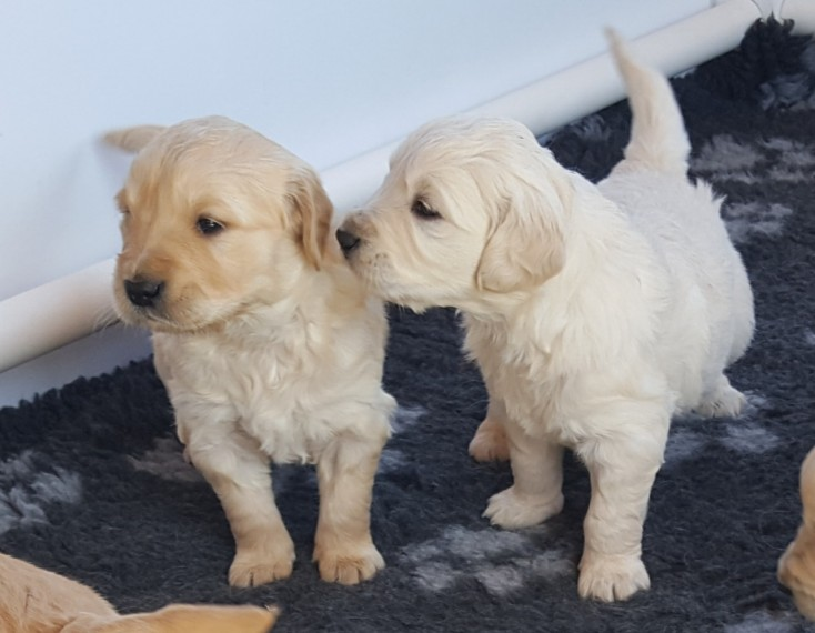 Golden Retriever Male and female Puppies