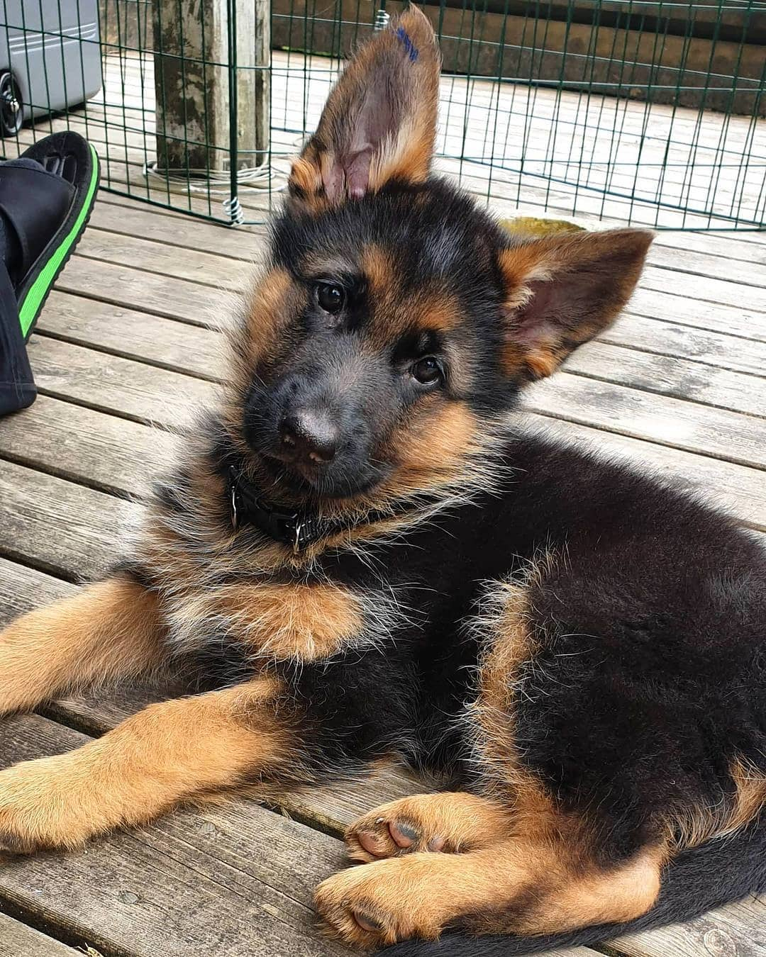 my German shepherd puppies looking for a loving home.