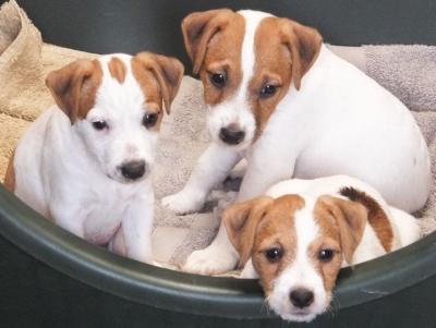 beautiful jack russel puppies