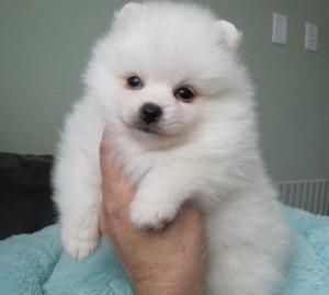 Buy Cheap Healthy AKC Miniature  Toy Poodles Puppies