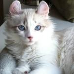 American Curl Cat Breed For Sale Dubai