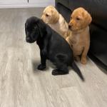 Labrador puppies.