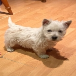 West Highland Terrier Puppies for sale.