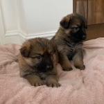 Malefemale German shepherd puppies