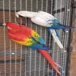 White and Blue Pet Macaw Parrots available