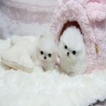 12 weeks old teacup pomeranian puppies
