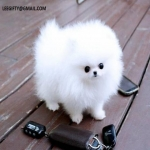 Healthy Teacup Pomeranian Puppies for sale